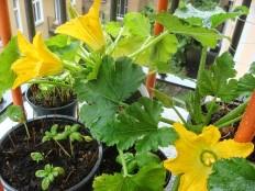 Zucchinipflanzen - Zucchini Plants