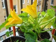männlichen Blüten - Male flower