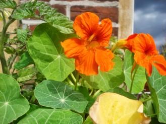 Kapuzinerkresse, Gute Begleiterpflanzen - Nasturtium, a good companion plant