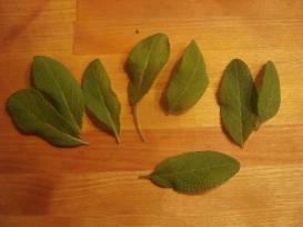 fresh picked sage leaves