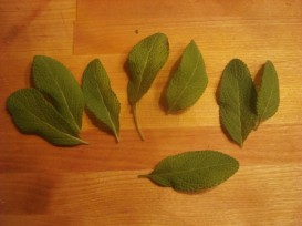 fresh picked sage leaves